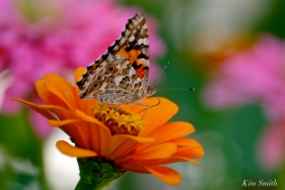 Painted Lady Butterfly Zinnias -4 copyright Kim Smith