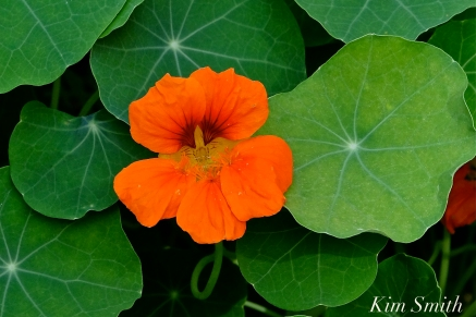 The Mary Prentiss Inn Cambridge Urban Pollinator Garden Nasturtiums copyright Kim Smith
