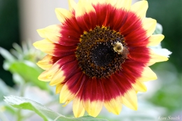 The Mary Prentiss Inn Cambridge Urban Pollinator Garden Sunflower Bee -2 copyright Kim Smith