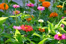 The Mary Prentiss Inn Cambridge Urban Pollinator Garden Zinnia patch copyright Kim Smith