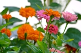 The Mary Prentiss Inn Cambridge Urban Pollinator Garden Zinnias and Marigolds copyright Kim Smith