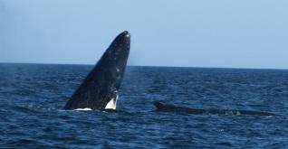 whale calf rising w (1)