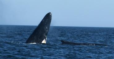 whale calf rising w