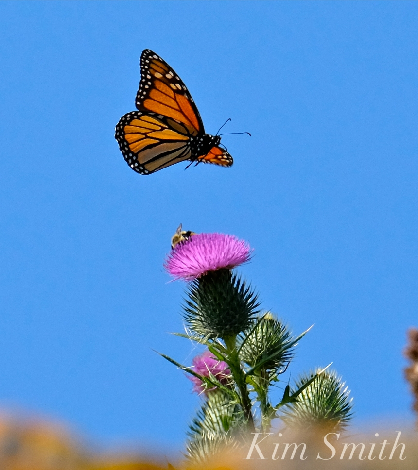 monarch butterfly migration goodmorninggloucester
