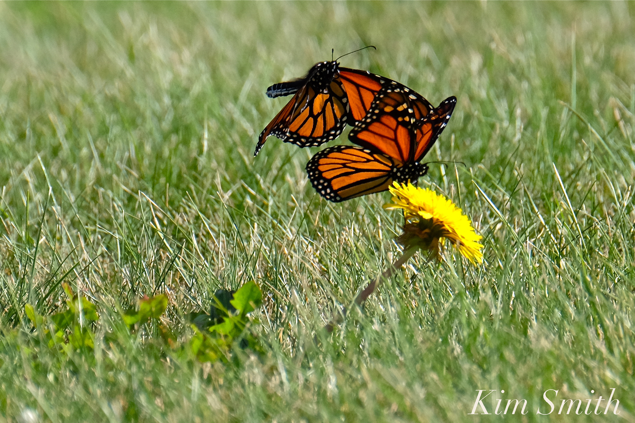 Monarch Butterfly Migration | GoodMorningGloucester - photo#43