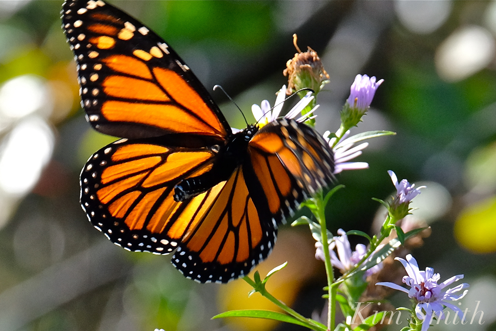 Monarch Butterfly Migration | GoodMorningGloucester - photo#23
