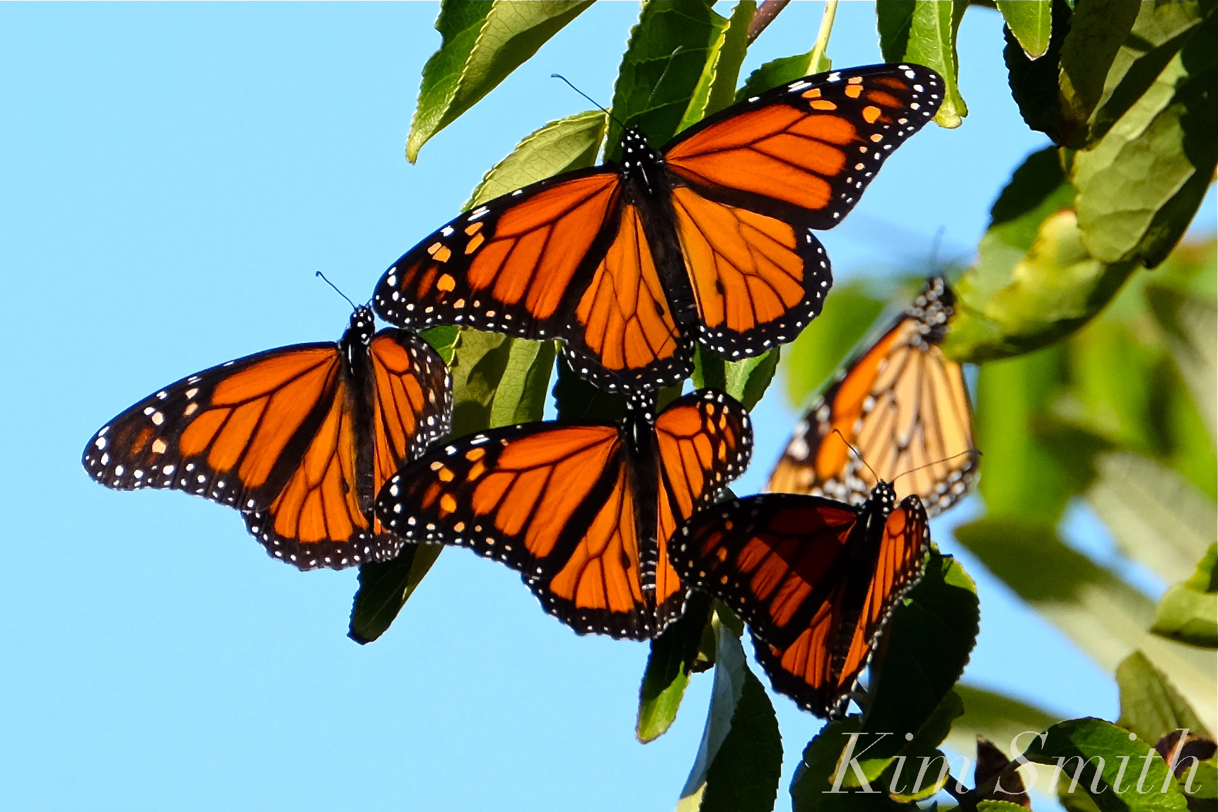Monarch Butterfly Migration | GoodMorningGloucester - photo#33