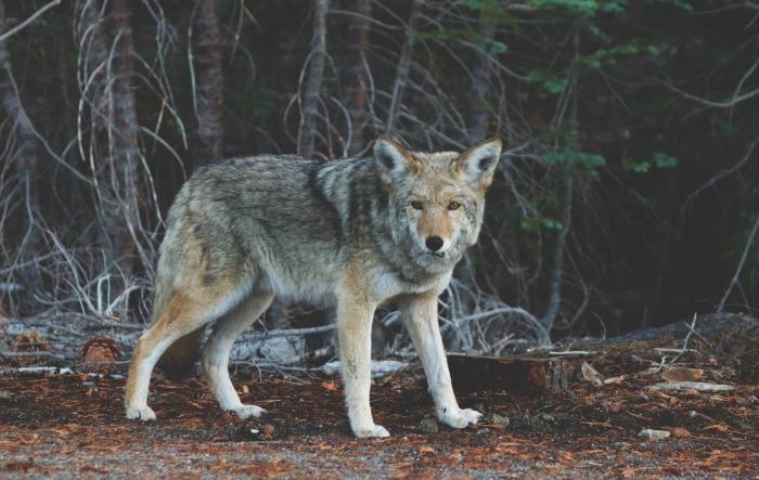 nature-animal-fur-coyote.jpeg