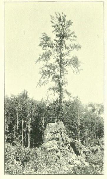 Old tree Rockport Road ca.1892