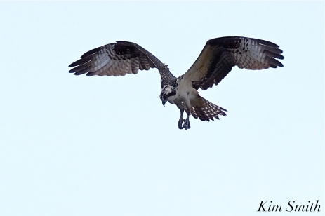 Osprey Hunting -5 copyright Kim Smith