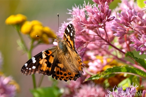 Painted Lady Joe-pye Wildflower -4 copyright Kim Smith