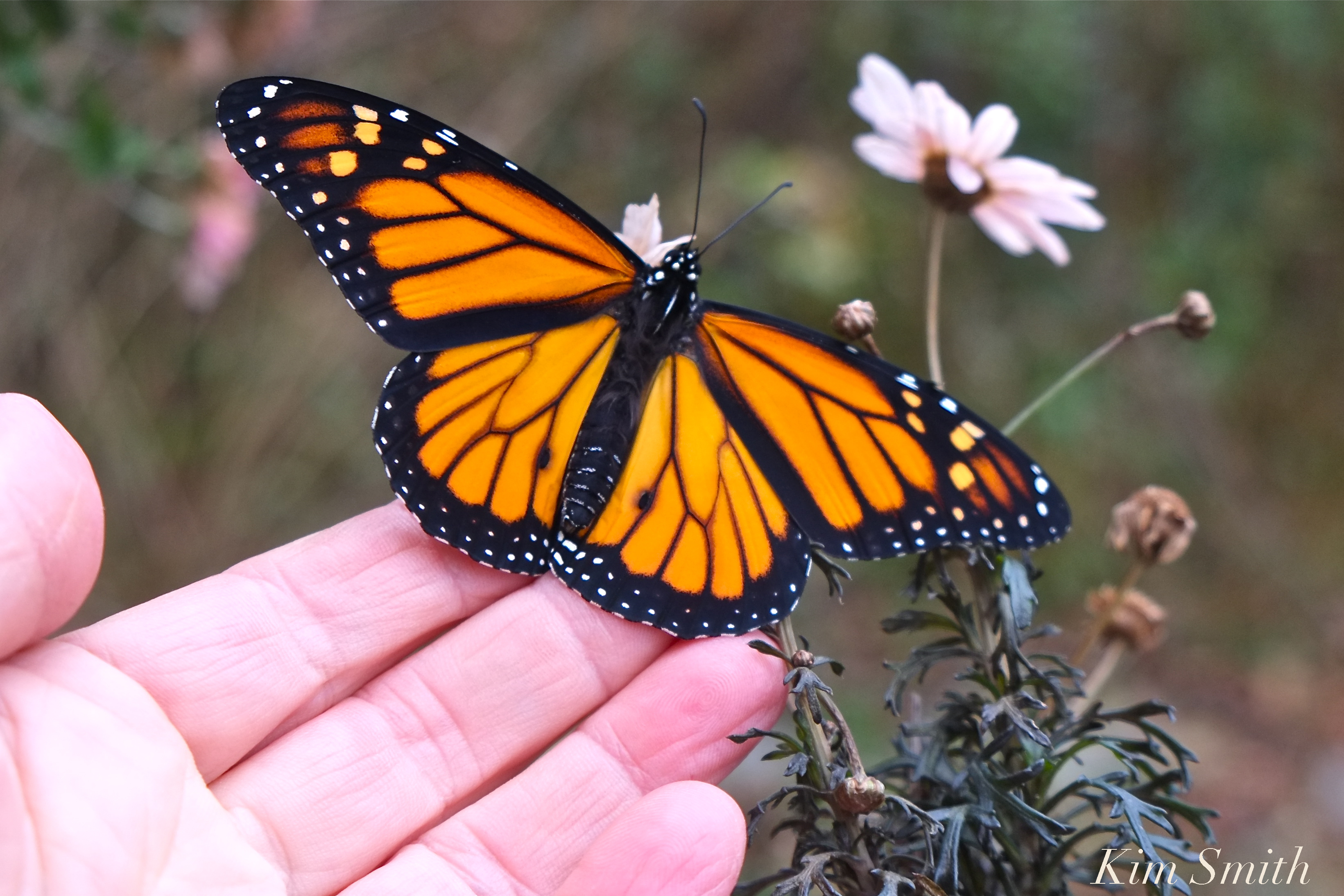 Monarch Butterfly Migration | GoodMorningGloucester - photo#15