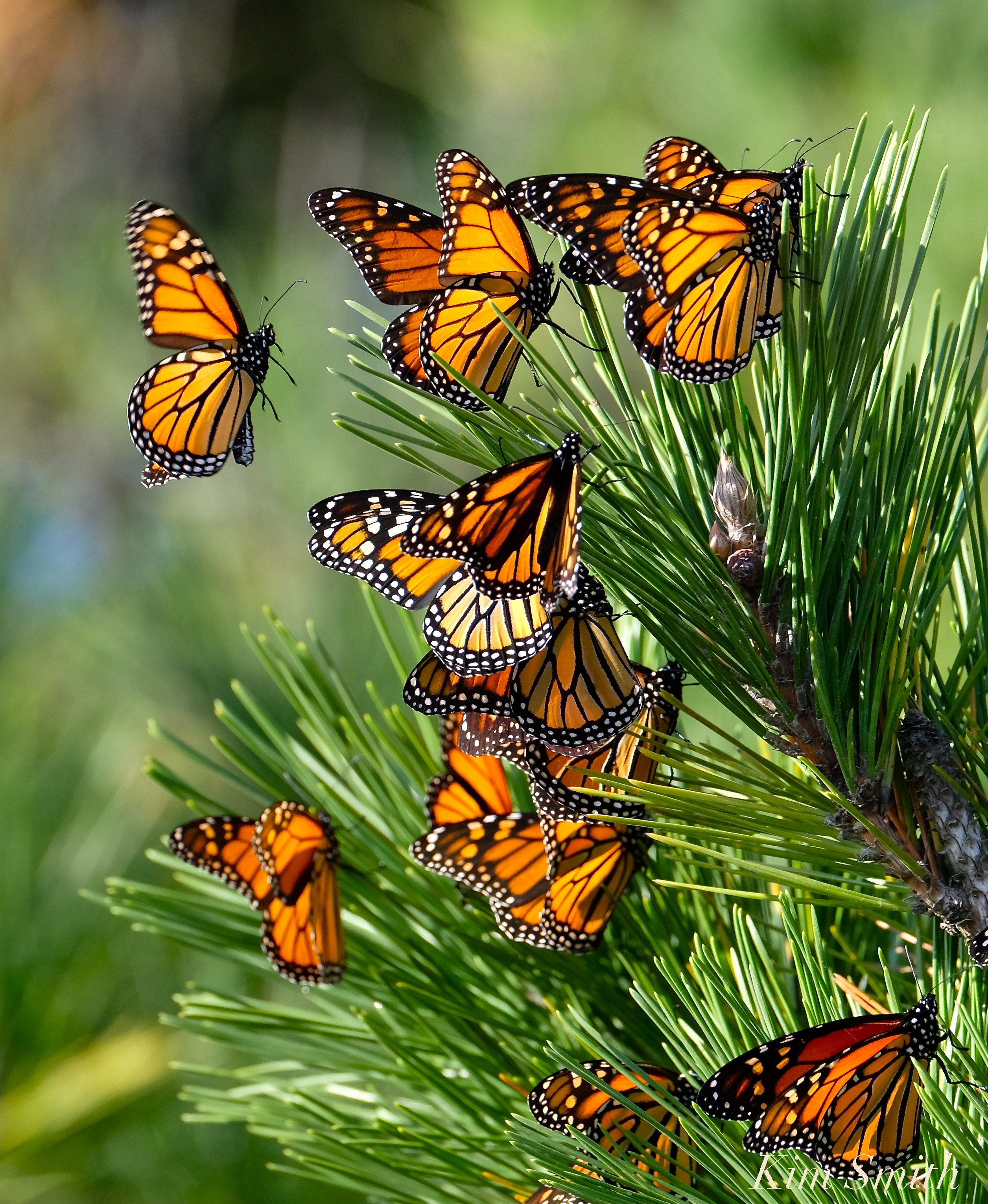 Monarch Butterfly Migration | GoodMorningGloucester - photo#21