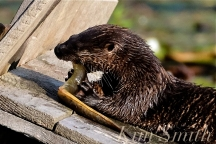 North American River Otter Eating American Eel Gloucester MA -2 copyright Kim Smith