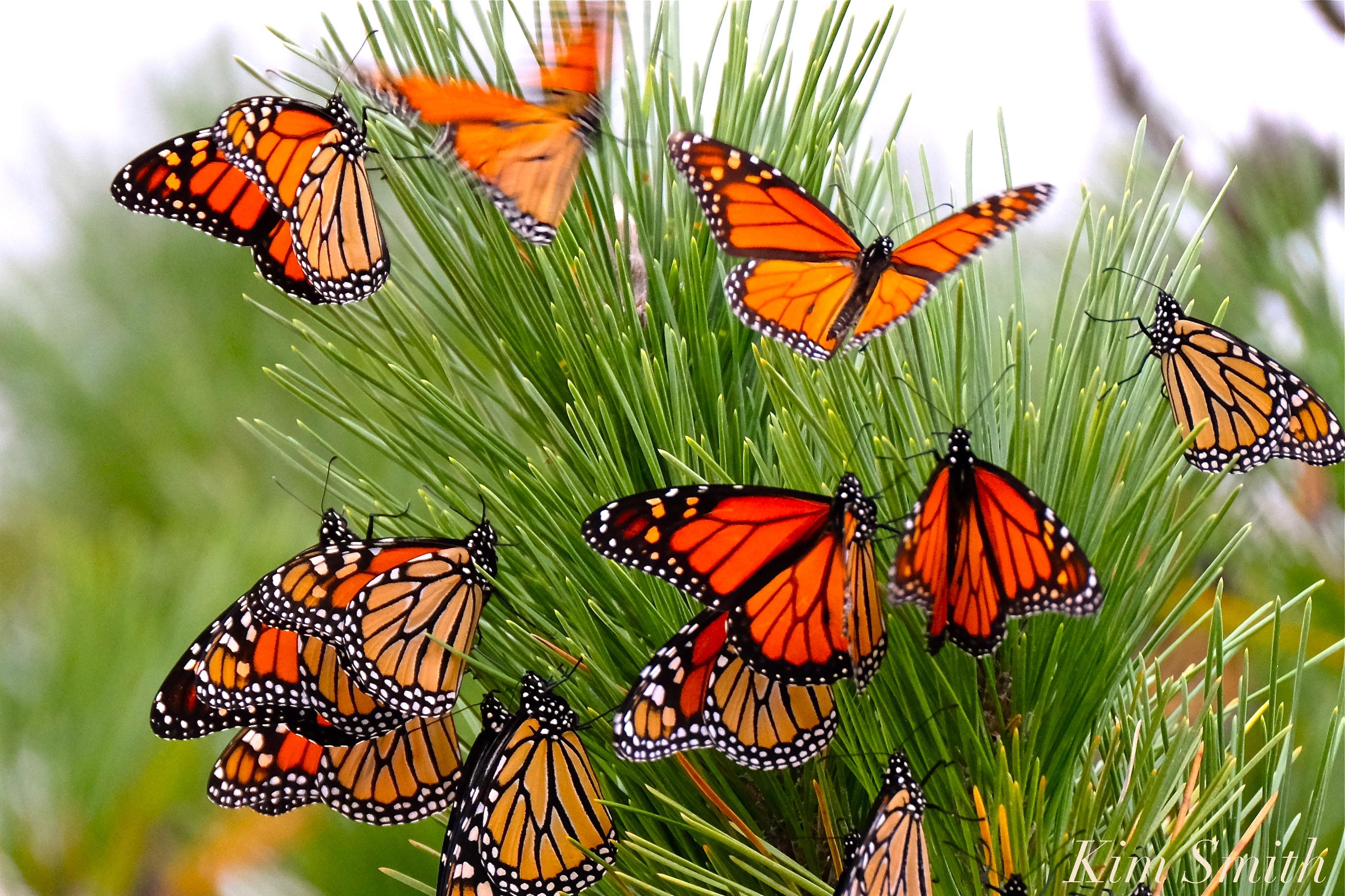 Monarch butterflies flying away - photo#50