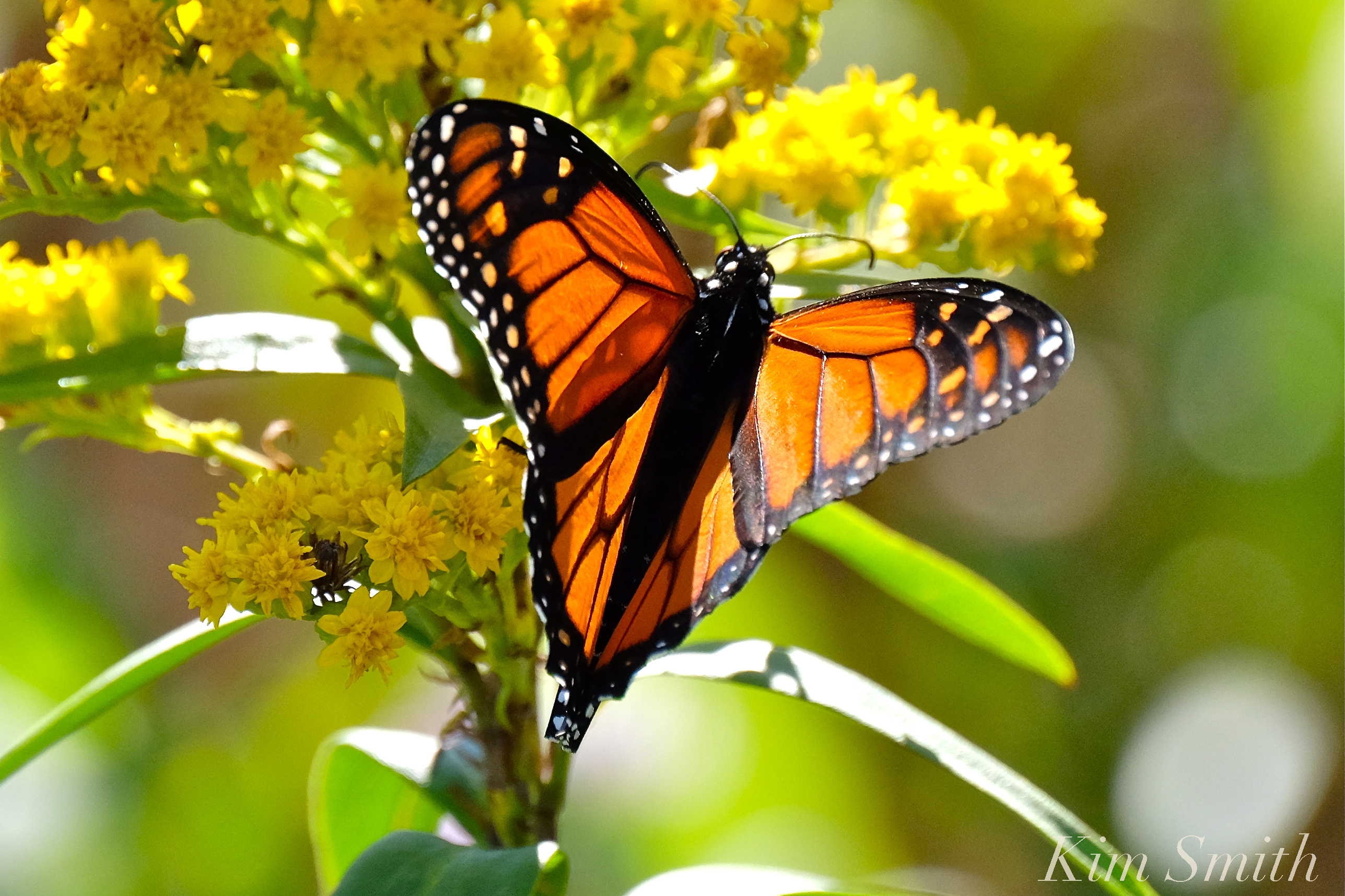 Monarch Butterfly Migration | GoodMorningGloucester - photo#13