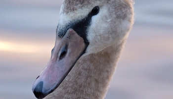 HOW TO TELL THE DIFFERENCE BETWEEN A MALE AND FEMALE SWAN – Good