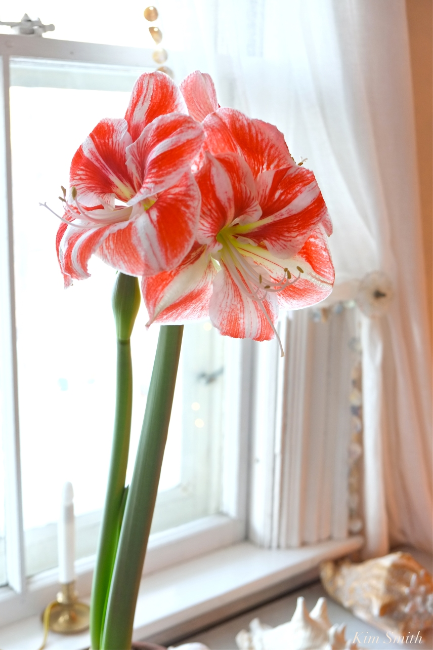 Amaryllis Clown -2 copyright Kim Smith