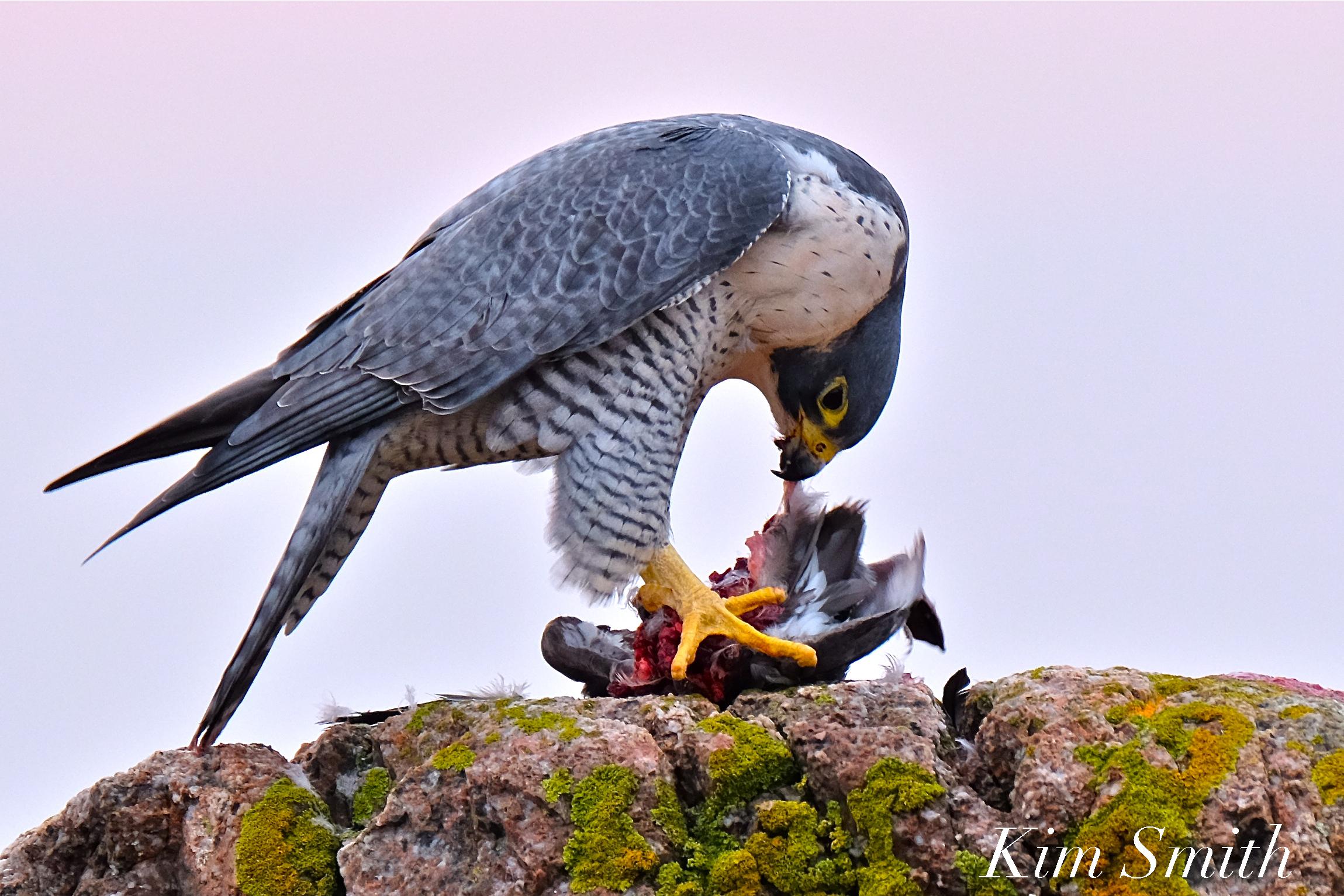 Peregrine Falcon Devouring A Bird Goodmorninggloucester