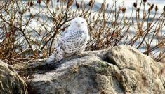 Samantha-snowy owl-12-2017 (1)