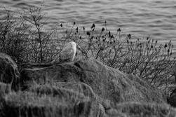 Samantha-snowy owl-12-2017 (2)