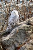 Samantha-snowy-owl 12-2017 (3)