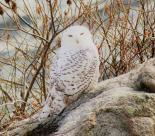 Samantha-snowy-owl 12-2017 (4)
