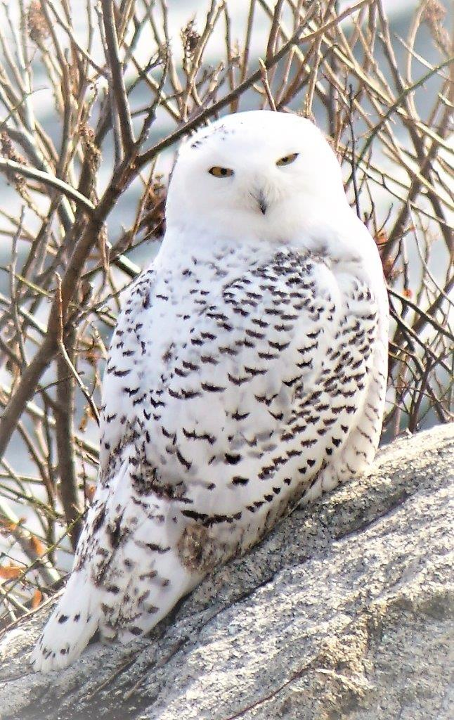 A Beautiful Snowy Owl Comes To Gloucester Good Morning Gloucester