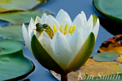 american-bullfrog-in-lily-flower-copyright-kim-smith