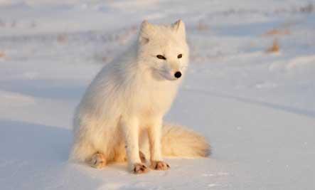 arctic-fox-cub