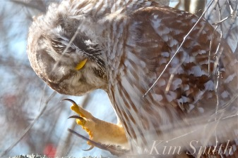 Barred owl scratching ear copyright Kim Smith