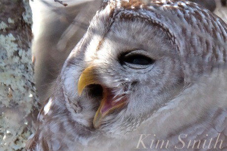 barred-owl-strix-varia-yawning-copyright-kim-smith