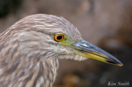 black-crowned-night-heron-first-hatch-year-gloucester-ma-4-copyright-kim-smith