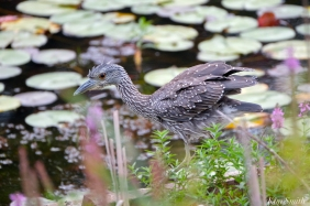 black-crowned-night-heron-immature-first-hatch-year-copyright-kim-smith