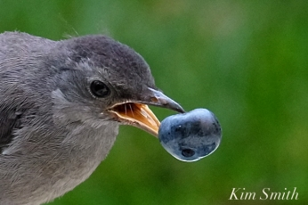 catbird-fledgling-eating-blueberry-copyright-kim-smith