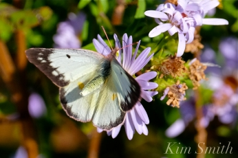 Clouded Sulphur Butterfly copyright Kim Smith
