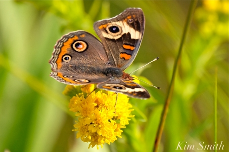common-buckeye-butterfly-gloucester-ma-copyright-kim-smith