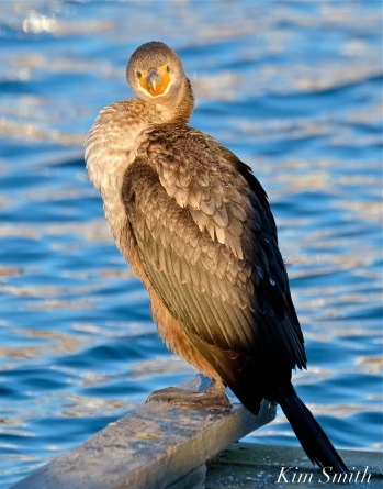 Double-crested Cormorant Juvenile copyright Kim Smith