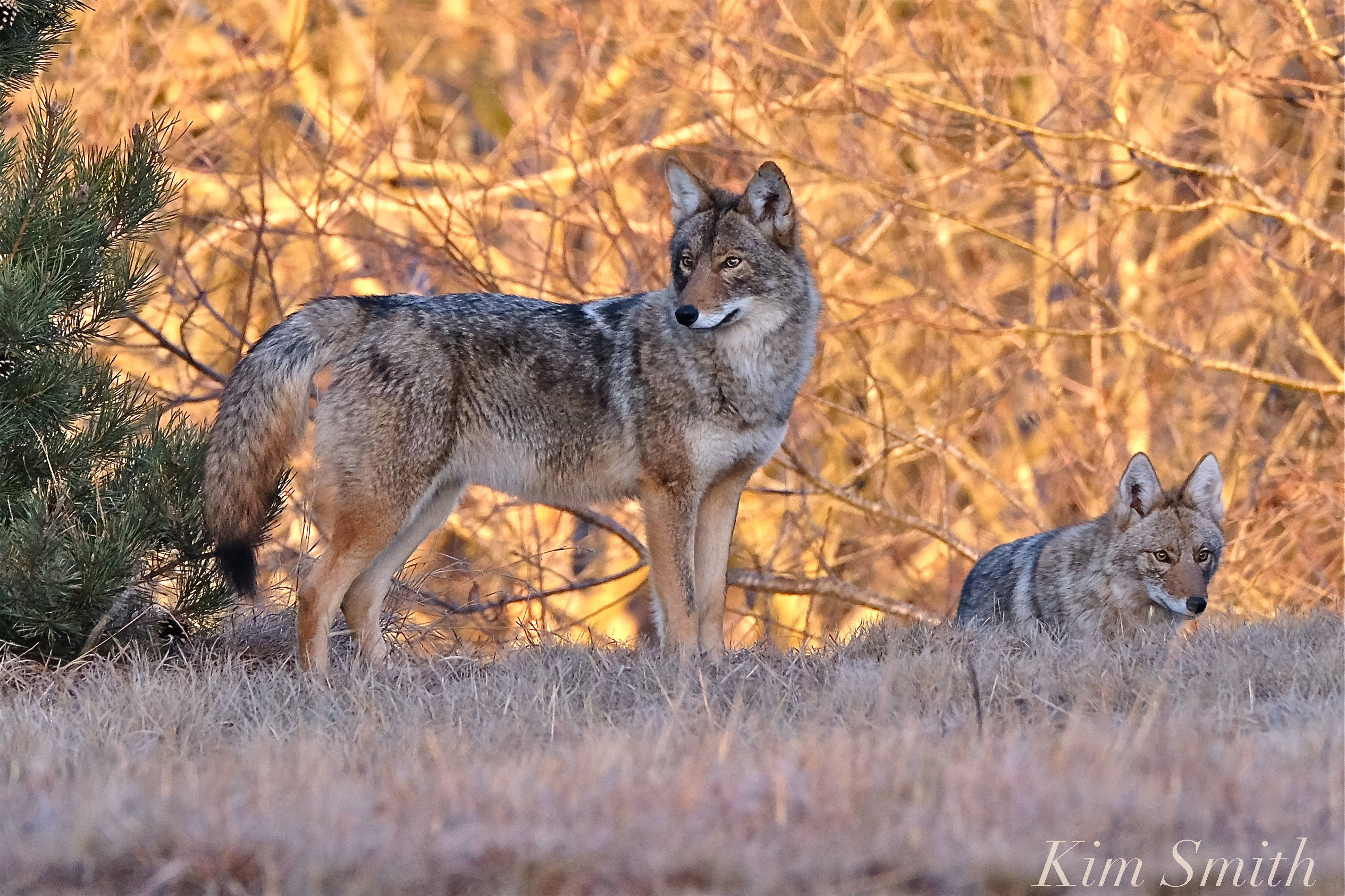 Eastern Coyote | GoodM...