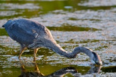 Great Blue Heron Cape Ann copyright Kim Smith.JPG
