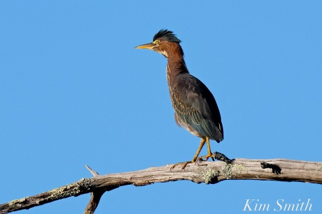Green Heron copyright Kim Smith