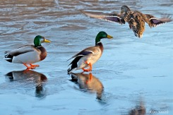 male-female-mallards-copyright-kim-smith