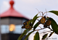 Monarch Butterflies Eastern Point Lighthouse copyright Kim Smith