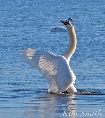 mr-swan-the-phoenix-rises-niles-pond-copyright-kim-smith