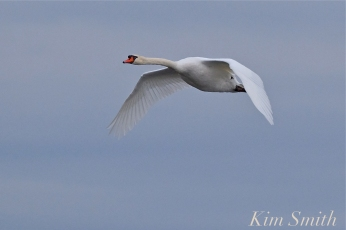 Mute Swan Flying - Mr. Swan -2 copyright Kim Smith