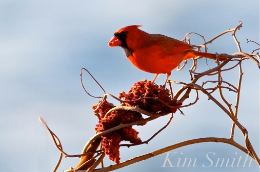 Northern Cardinal Male copyright Kim Smith