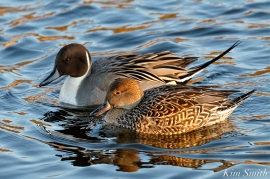 northern-pintail-female-and-male-cape-ann-massachusetts-3-copyright-kim-smith