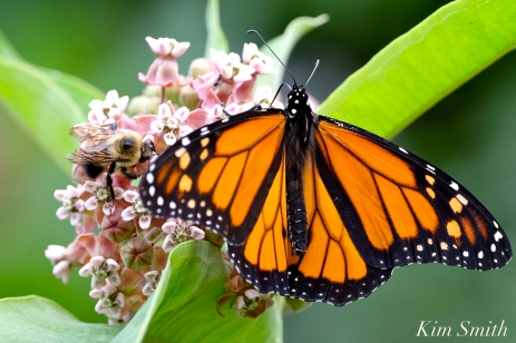 patti-papows-gloucester-garden-monarch-butterfly-bee-common-milkweed-copyright-kim-smith