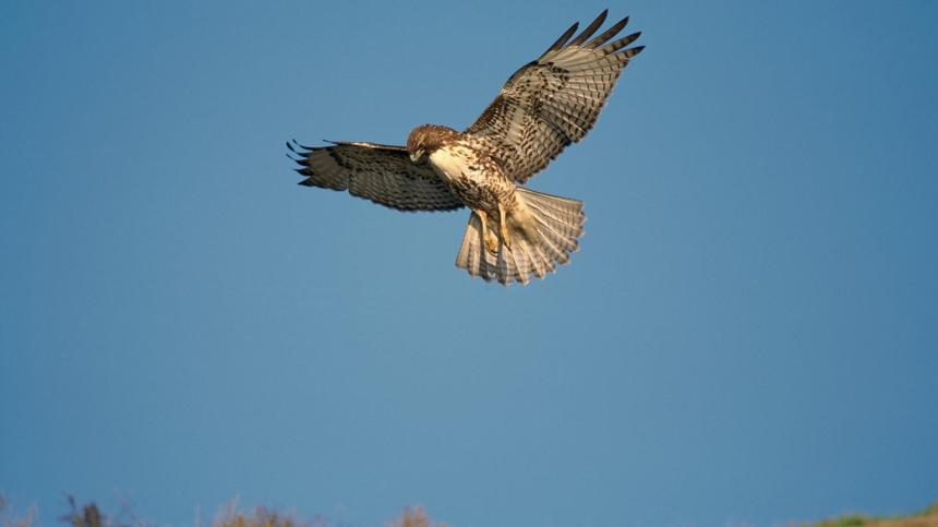 red-tailed-hawk-flying-hunting.ngsversion.1398288736647.adapt.1900.1