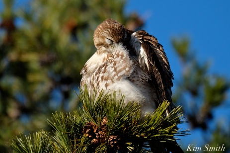 Red-tailed Hawk preening copyright Kim Smith